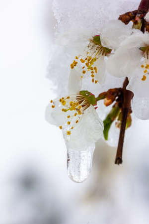 Flowering branch in the snow and the icicles