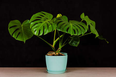 tropical monstera plant in a flower pot on a table against on a black background