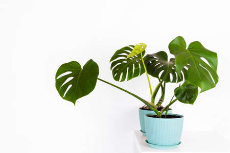green tropical monstera plant in a flower pot on a table against a white wall Stock Photo