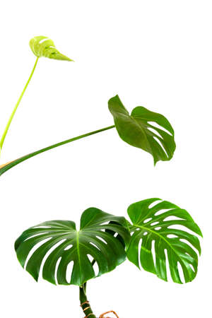 a green leaves and a young sprout of a tropical monstera plant isolated on a white background Stock Photo