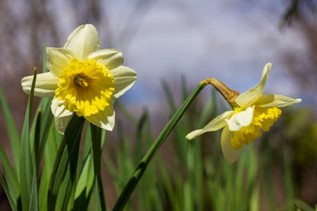flower bed of narcissus flowers on a spring sunny day close-up Stock Photo