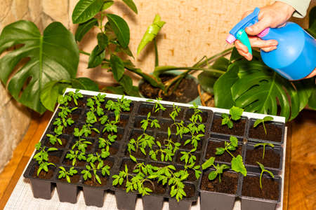 women's hands pour water from a sprayer on seedlings of tomatoes and cucumbers