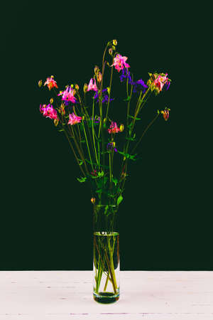 bouquet of aquilegia flowers with pink and blue petals in a glass vase on a white wooden table on a black background Stock Photo