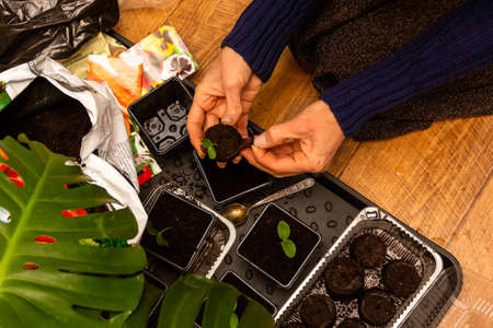 female hands plant seedlings of cucumbers in peat tablets in plastic pots with soil Stock Photo