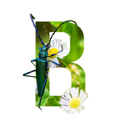letter B of the floral alphabet with a beautiful beetle on a blooming white daisy isolated on a white background Stock Photo