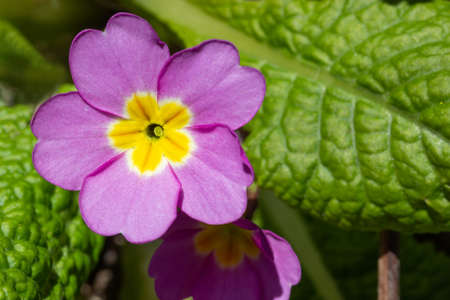 primrose flower on a spring sunny day close up top view Stock Photo