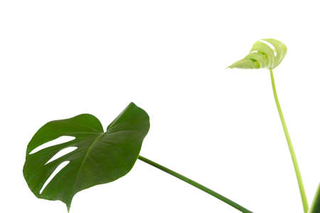 a green leaf and a young sprout of a tropical monstera plant isolated on a white background with a copy space