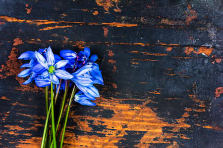 a bunch of scylla flowers with blue petals on a black retro grunge wooden background with a copy space Stock Photo