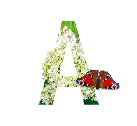 letter A of the floral alphabet with a peacock eye butterfly on a blooming white hydrangea isolated on a white background