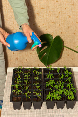 a female hand is poured with water from a sprayer on seedlings of tomatoes