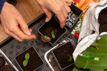 women's hands transplant cucumber seedlings in peat tablets into plastic pots with soil Stock Photo