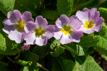 flower primrose on a spring sunny day close-up top view