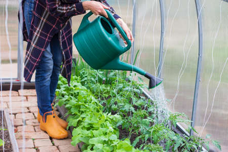 young woman works in a greenhouse, pours water from a watering can over tomato bushes, cucumbers and radishes on a spring morning