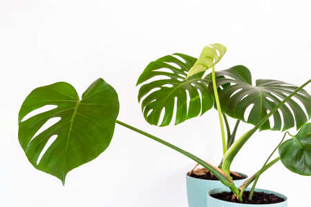 green tropical monstera plant in a flower pot against a white wall close-up