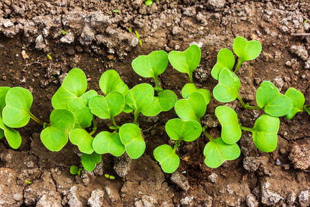 green leaves of radish seedlings in the vegetable patch top view