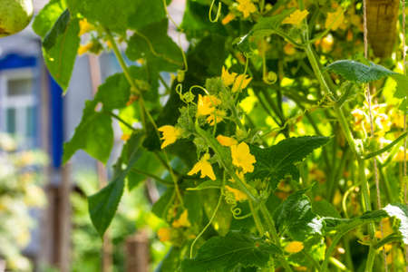 Blooming with yellow flowers, cucumber growing up in the vegetable garden sunny summer morning