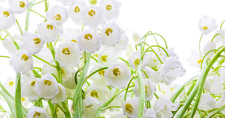 Lily of the valley flowers close up