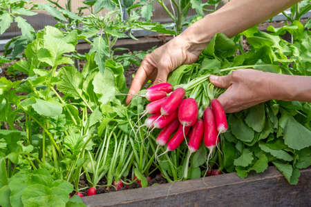 a bunch of ripe radishes in women's hands on the background of a bed of radishes