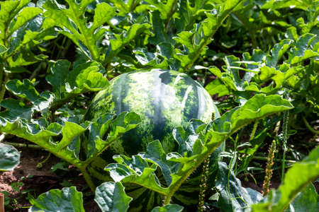 Ripe striped watermelon on a bed of green leaves on a sunny summer day