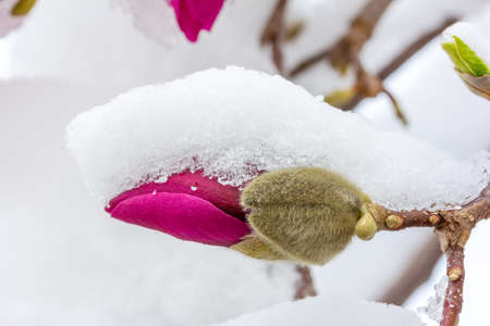 a blooming magnolia flower bud covered in snow close up Stock Photo
