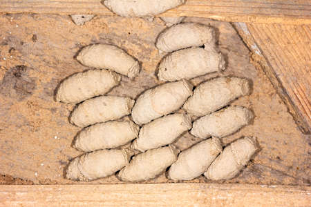 nest with mud wasp (Sceliphron) larvae in mud cocoons on the wall of an old barn Stock Photo