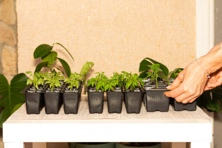 the hands of a woman putting pots of tomato and cucumber seedlings on the table in the room