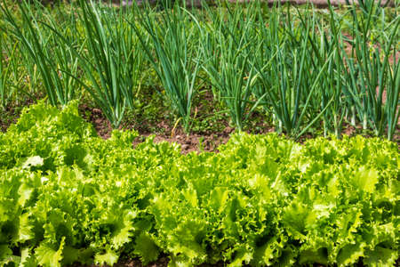 garden with green lettuce leaves and green onions close-up Stock Photo