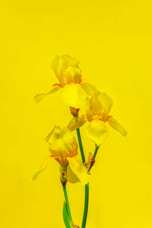 yellow flowers irises on a yellow background close up