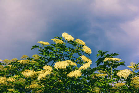 a large flowering elderberry tree on a blue sky background Stock Photo