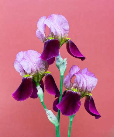 Beautiful purple irises flowers on a dark pink background close up Stock Photo