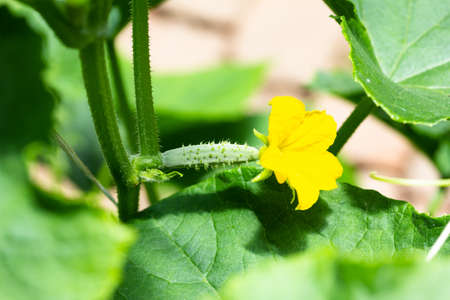 yellow flower on a small cucumber in a vegetable garden in a greenhouse Stock Photo