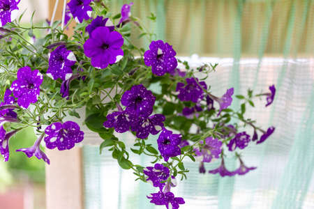 Beautiful purple petunias Night Sky in Hanging pots for cafe or restaurant decoration Stock Photo