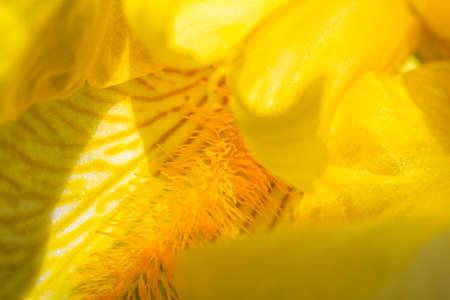 yellow iris flower petals close-up