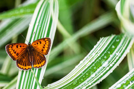 multi-eyed unpaired butterfly (Lycaena dispar) on the green grass of falaris in the garden on a summer day after rain, top view