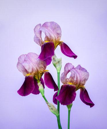 Beautiful purple irises flowers on a light purple background close up Stock Photo