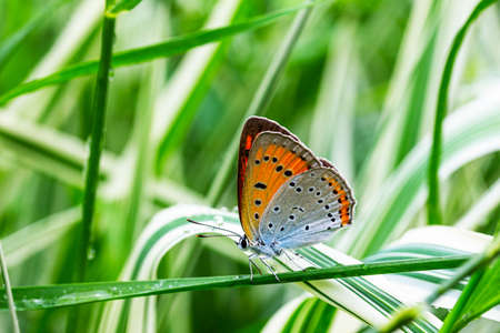 multi-eyed unpaired butterfly (Lycaena dispar) on the green and white falaris grass in the garden on a summer day after rain, side view