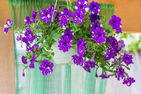 Beautiful flowers purple spotted petunias Night Sky in hanging pots for cafe or restaurant decoration Stock Photo