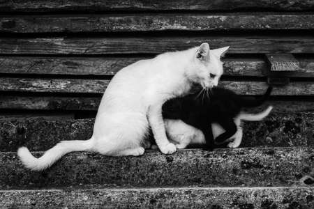 white cat feeds her kittens black and white, black and white photo