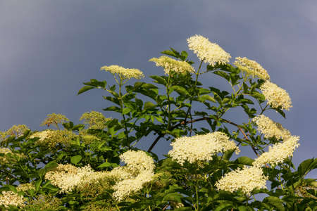 a large flowering elderberry tree against a cloudy sky