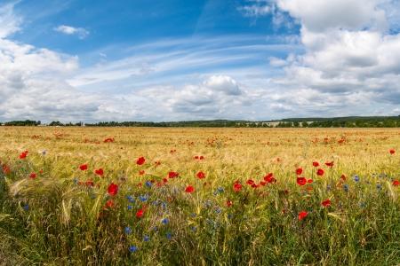 Corn field with poppies and cornflowers Фото со стока