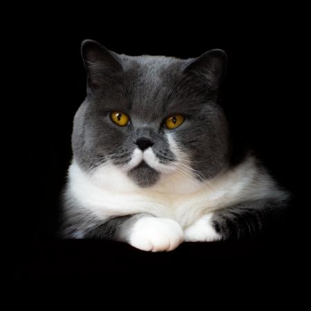 Britisch Kurzhaar Katze auf schwarzem Hintergrund Lizenzfreie Bilder