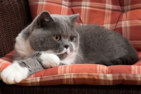 British Shorthair Cat on the Chair Banco de Imagens
