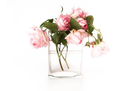 red roses: pink roses in a glass vase with white background Stock Photo