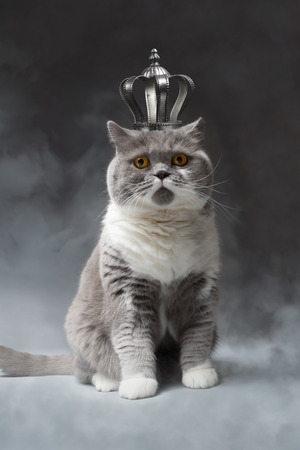 cute British Shorthair Cat with silver Crown