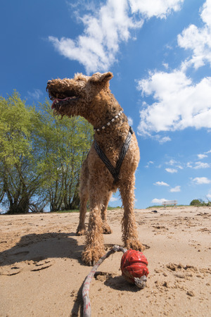 old Airedale Terrier playing with red Ball on a Beach