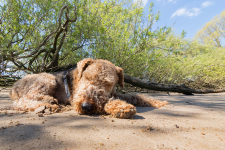 Airedale Terrier sleeping on the Beach in the Shadow