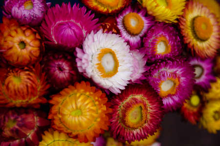 straw flower or everlasting in the market at thailand