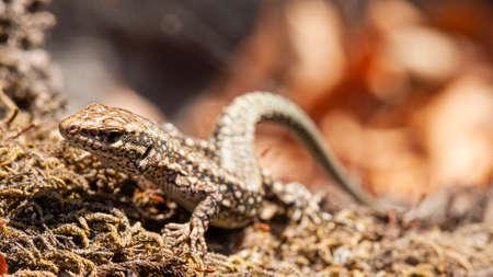 harmonious lizard on brown moss 免版税图像