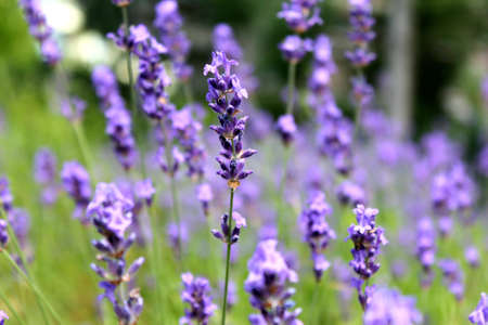 lavender - a fragrant and soothing plant