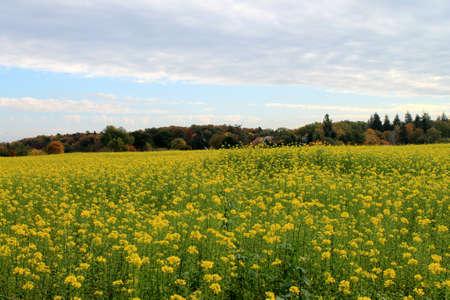 mustard plant: autumn Landscape